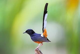 Burung Murai Batu Medan Dan Ciri-cirinya