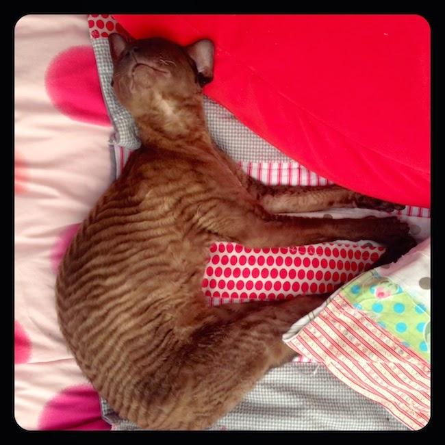 Cornish Rex Sleeping