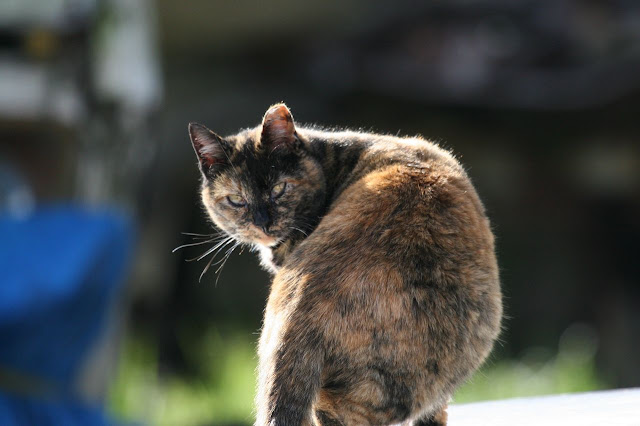 Old Tortie, a tortoise shell feral cat story