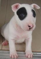 แพนด้า บูลเทอร์เรีย Bull Terrier