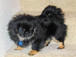 Giống chó Pekingese.
