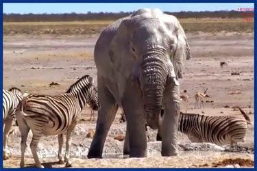 Lustiges Elefantenvideo