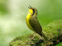 Kicauan Burung, Hobi Yang Memasyarakat