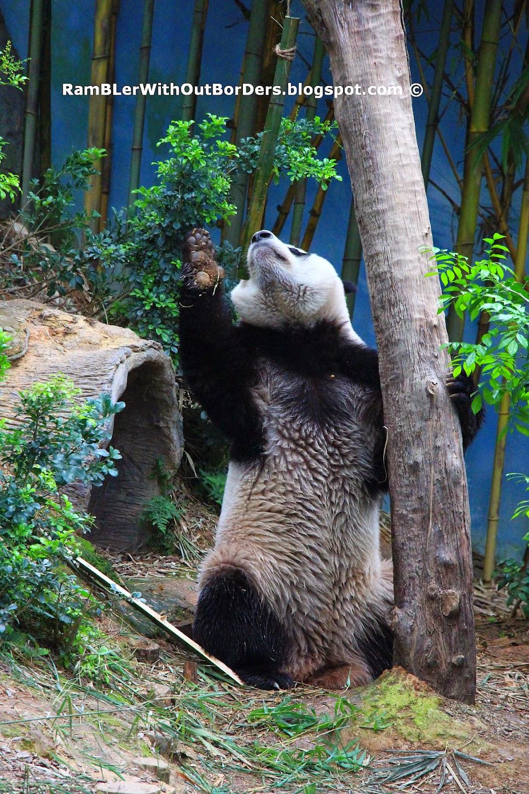 Panda standing up, River Safari, Singapore