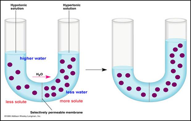 Osmosis Transpor Pasif pada Membran Sel