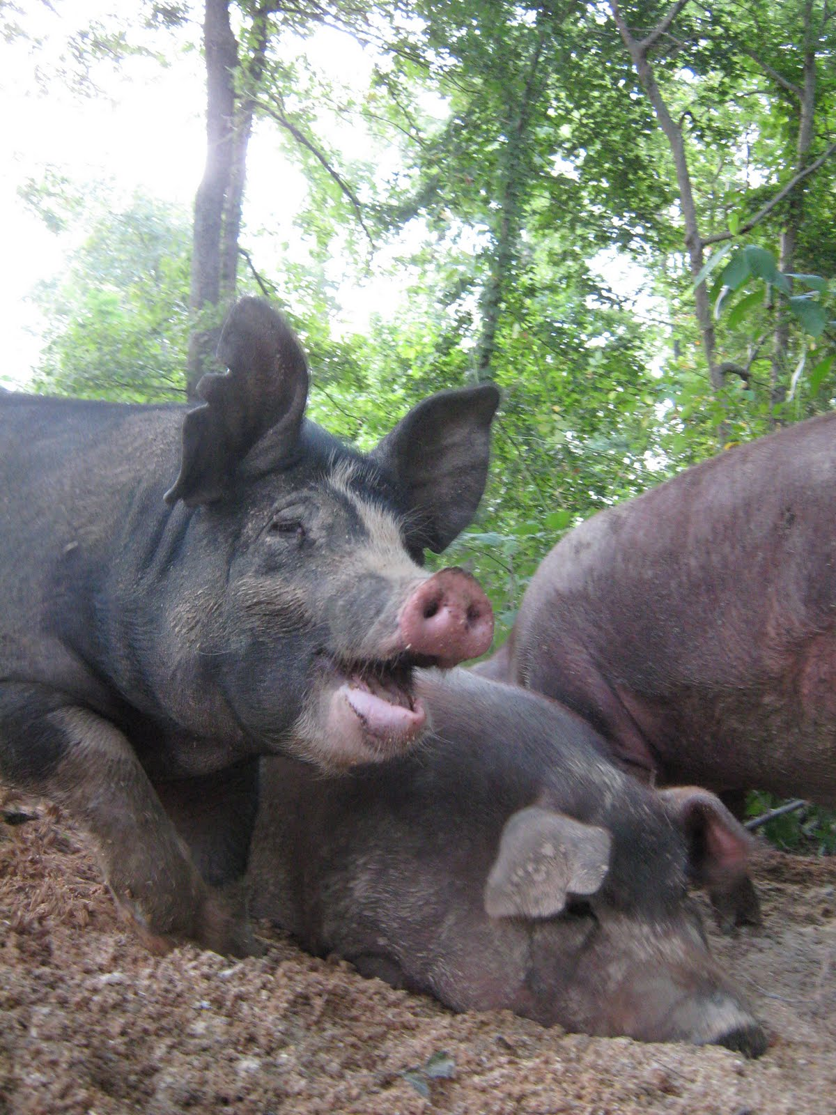 Pastured Poetry View Of A Pig