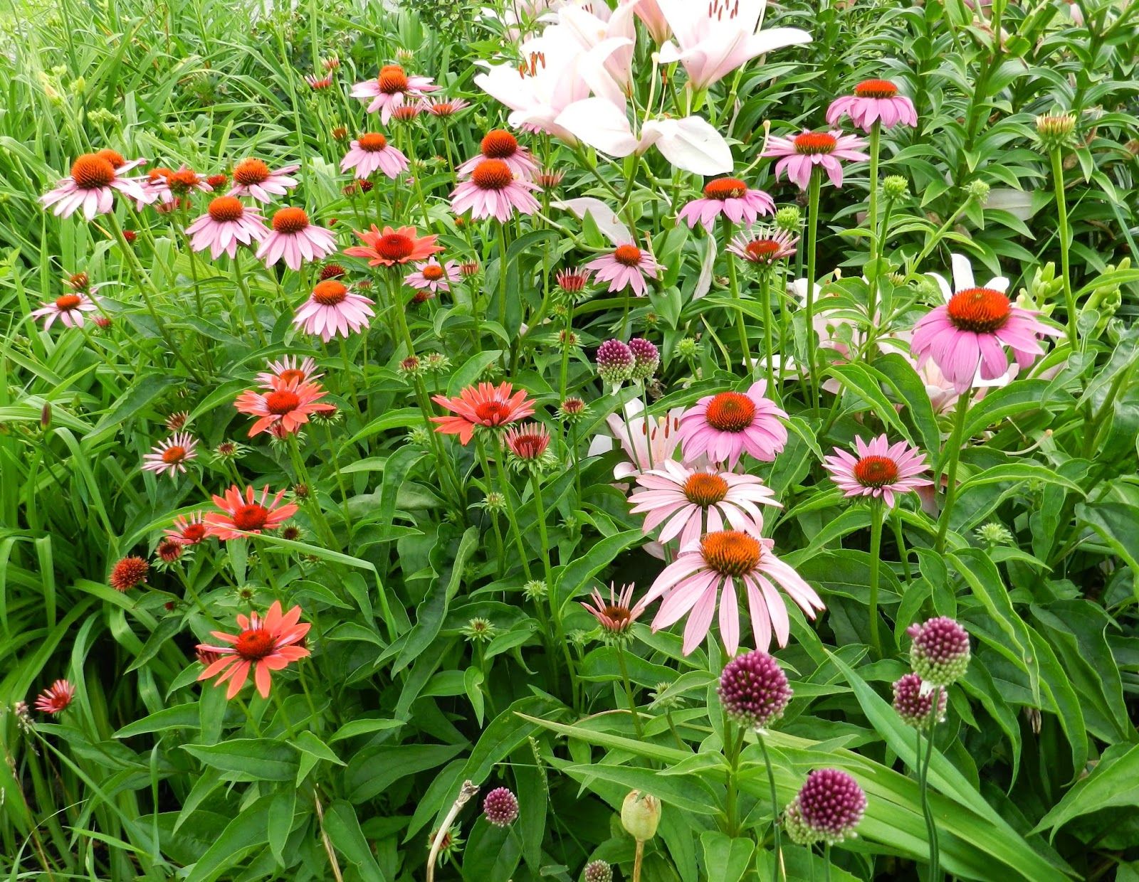 Prairie Rose s Garden GGBD What Do You Call a Plethora of Coneflowers