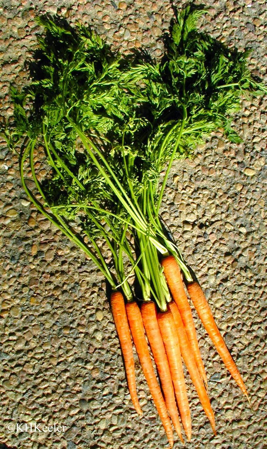 carrots botany Whether used in countless recipes or eaten raw, the common carrot plant (daucus carota) offers both a tasty vegetable and bushy foliage for your home garden easily grown in us department.
