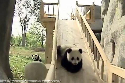 panda bears pictures 38