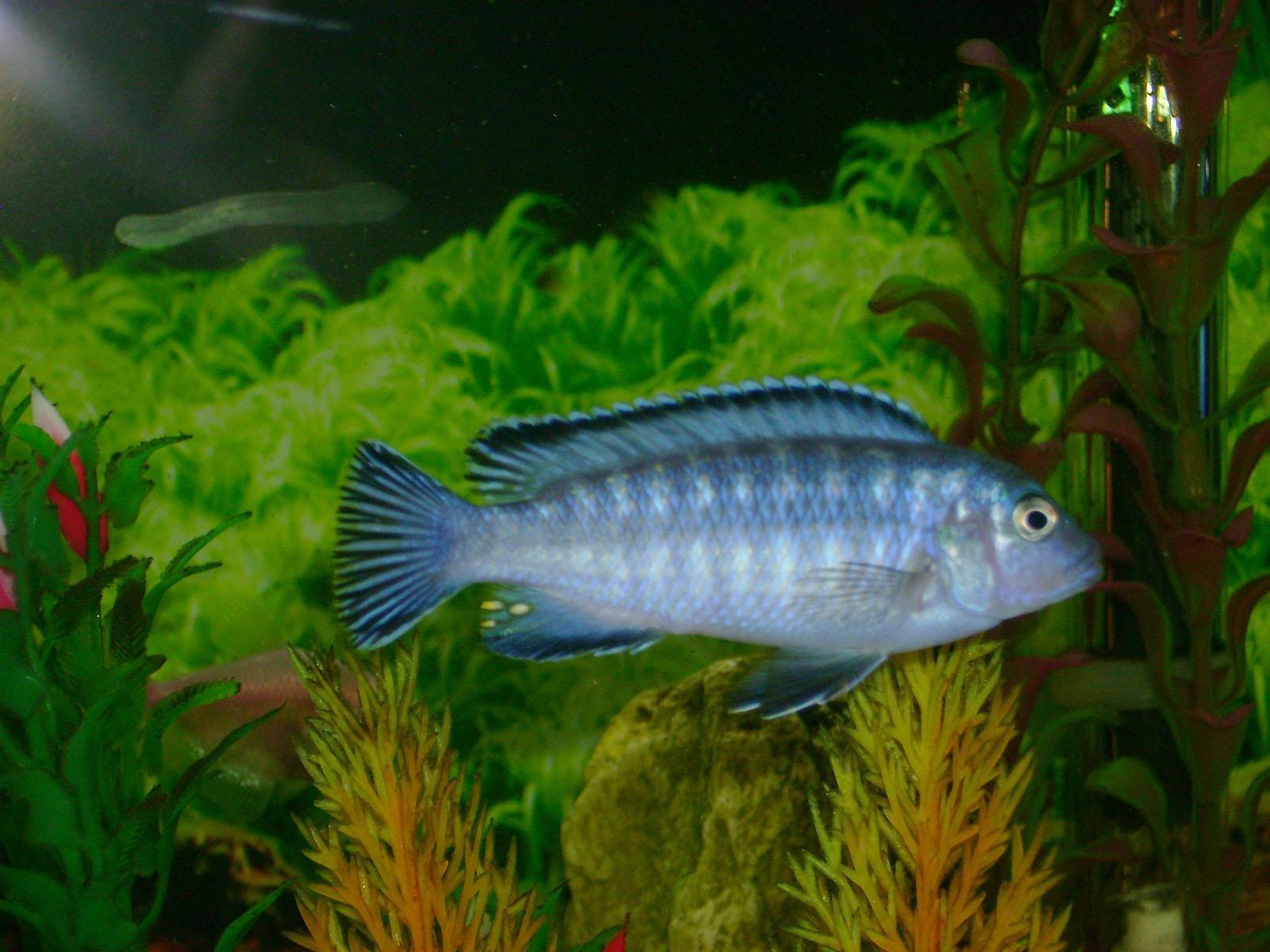 Freshwater Fish Pets : Awesome Freshwater Fish Pets Pseudotropheus socolofi fish