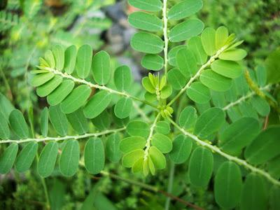 Obat Herbal Untuk Asam Urat Tinggi