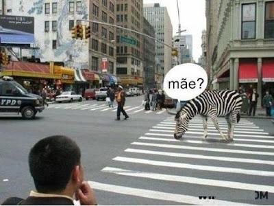Filha zebra procurando a mãe e acha que a faixa de pedestres