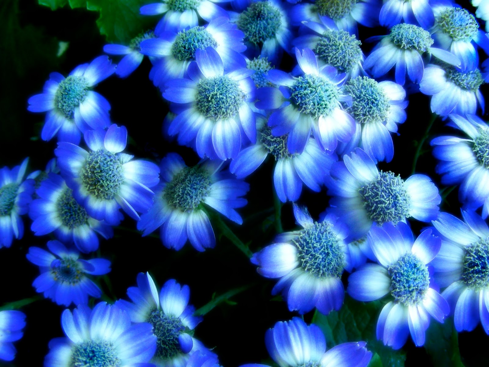 Blue Flower Wallpapers - asimBaBa   Free Software   Free ...
