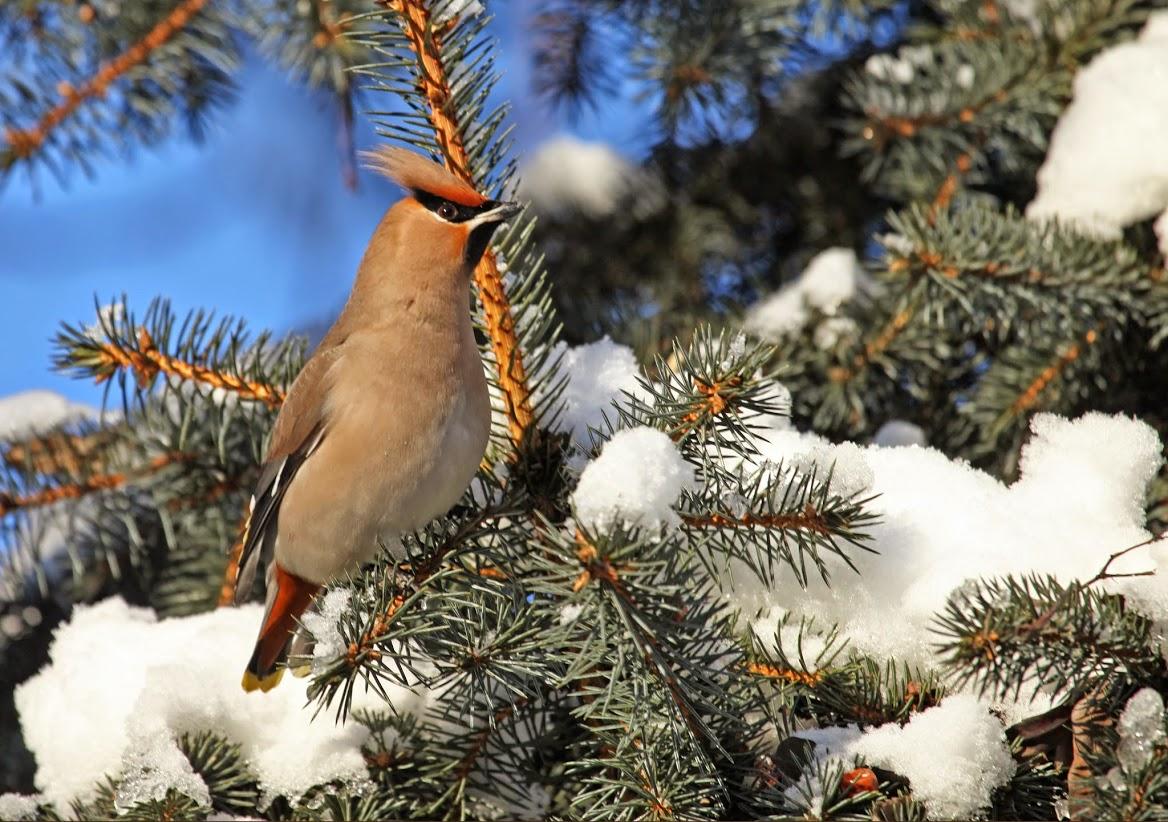 Ptáci - Brkoslav