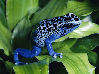 Blue Frog in Green Leaves HD Wallpaper