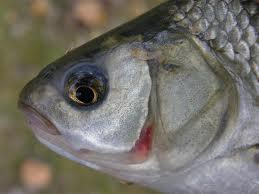 Il giardino delle naiadi pulire il laghetto con un pesce for Pesci da laghetto mangia zanzare