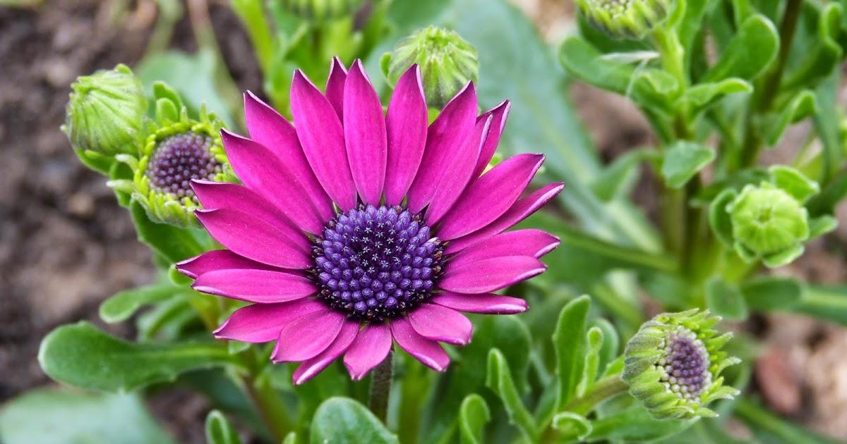 Un jardin des fleurs osteospermum for Un jardin de fleurs