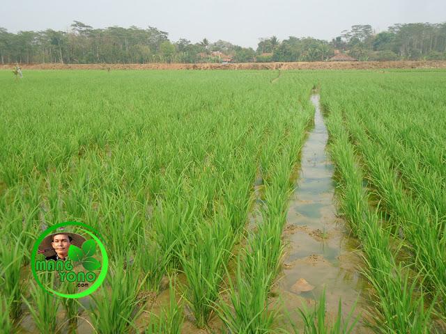 Cara pemupukan tanaman padi dengan pupuk buatan