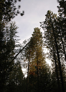 Towering trees in the Sierras, near Fish Camp