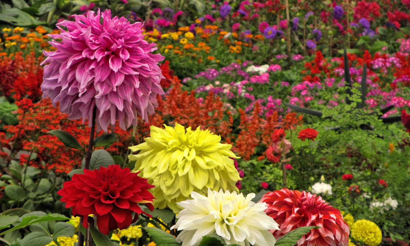 Dahlia Flower Hd Wallpapers Hd Wallpapers High Definition Free