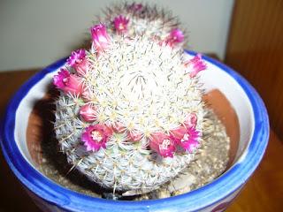 flores del cactus mammillaria