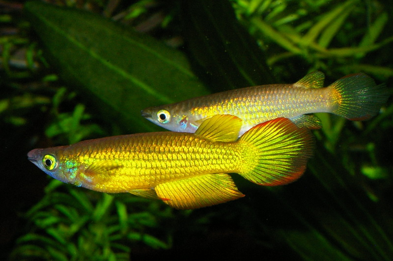 Aquario Virtual: Killifishes