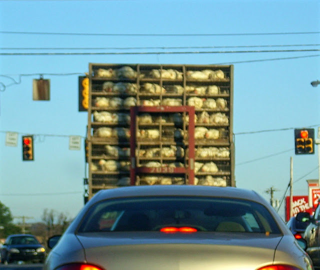 chickens while driving