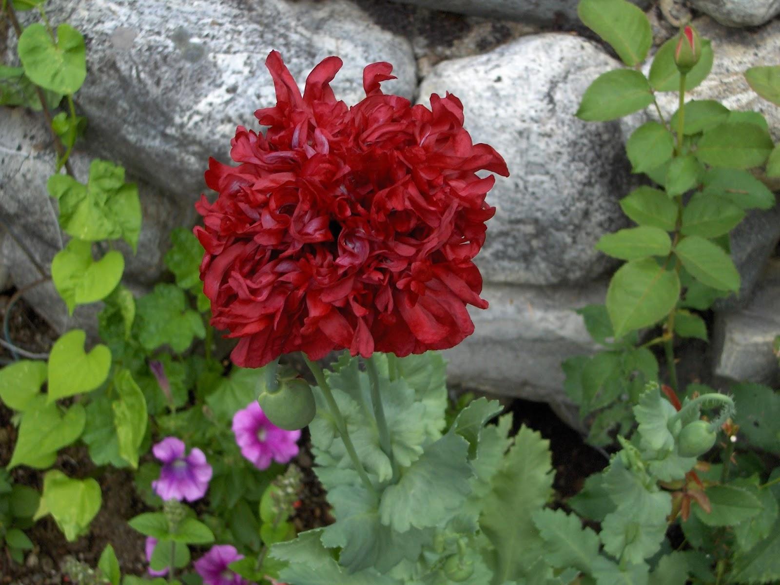 Self-Seeded Poppy Photo