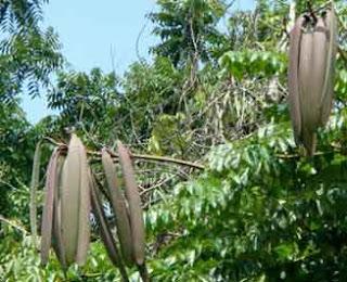 #Khasiat Pokok Beka