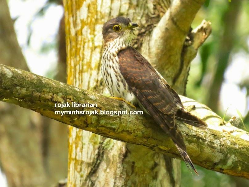Hodgson's hawk-cuckoo in Bidadari