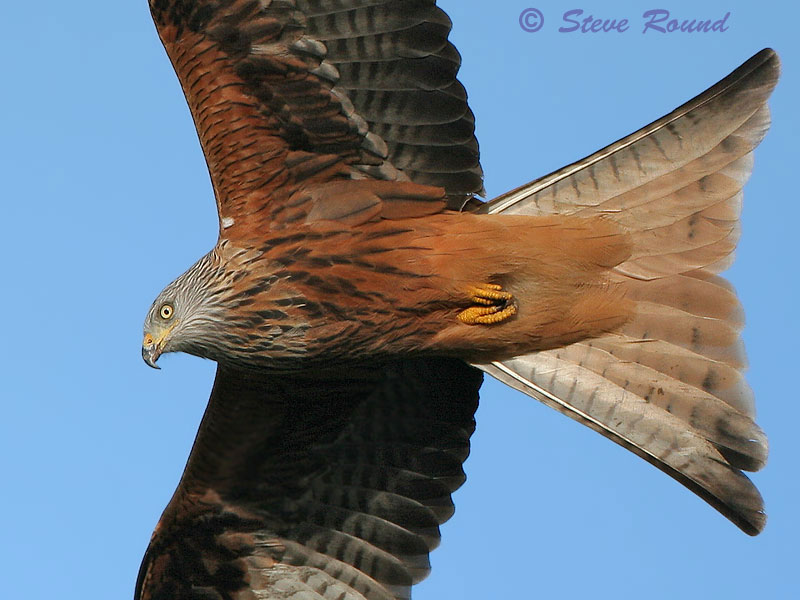 bird, nature, wildlife, in flight, flying, red kite, bird of prey