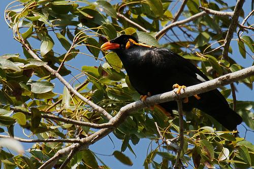 Burung+Beo+Nias+2 rappets.com