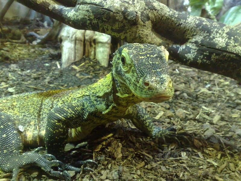 Parthenogenetic Komodo Dragon baby