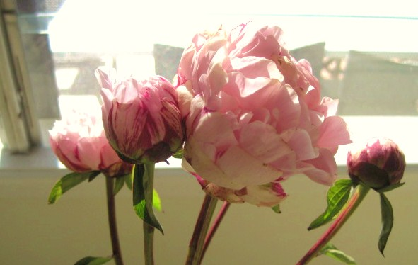 Beautiful Peonies, Natasha in Oz