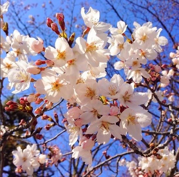 Flores y rboles rbol de cerezo - Arbol de rosas ...