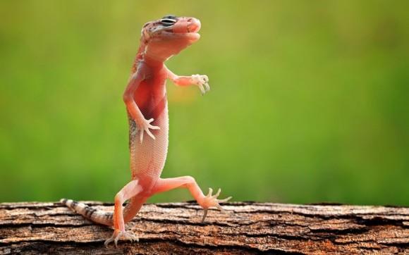 لأجمل اللحظات عالم الحيوان potd-gecko_2202551k-