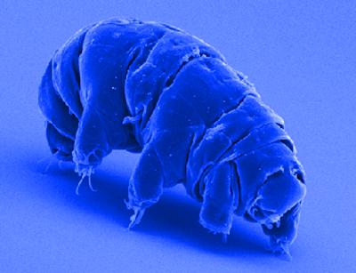 Adult Tardigrade