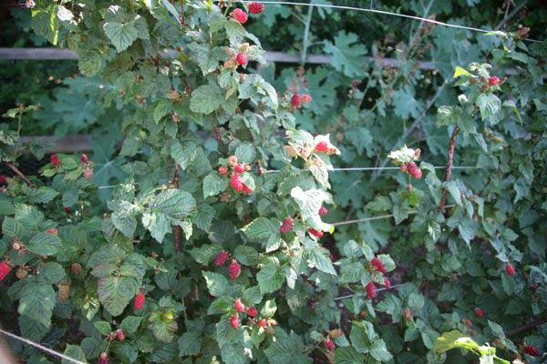 How to grow tayberries the garden of eaden for Plants to grow in garden