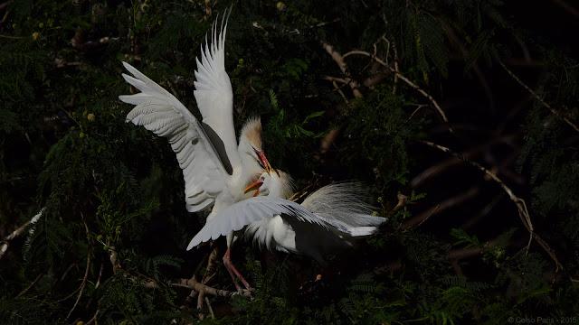 Western Cattle Egret Adult Plumage Bubulcus ibis ibis garça-vaqueira garza boyera