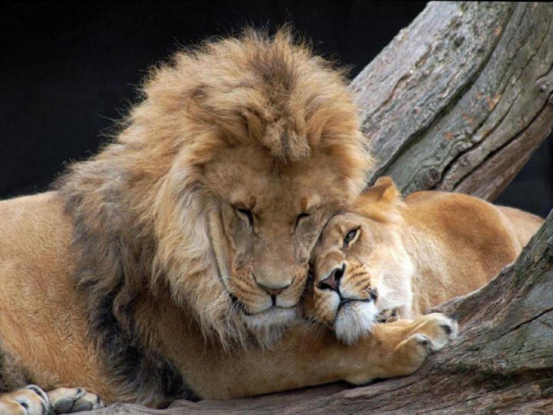 Imagenes de leones foto de leones cari osos - Animales salvajes apareandose ...