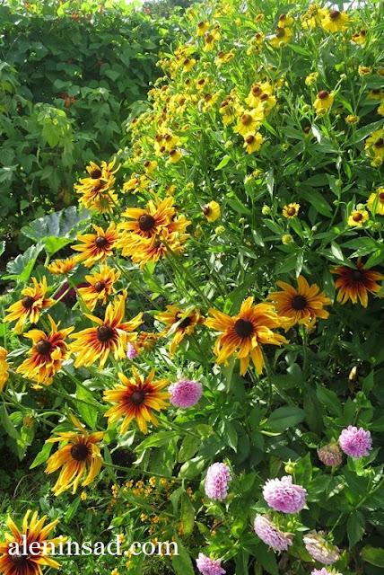 сад в августе, клумбы, рудбекия, гелениум, гладиолусы, аленин сад