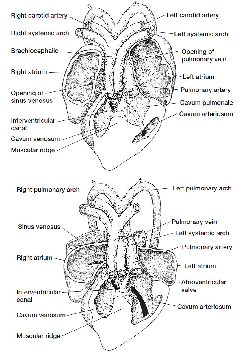 Ciencias de Joseleg: El corazón de las tortugas y lagartijas