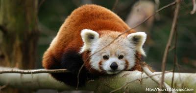Red_Panda_Langtang