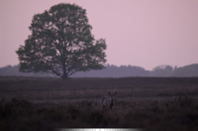 It's always exciting to wait until after sunset to see how the light changes. This time the cloudless sky turns a subtle pink and all I needed was the Roe Deer as a subject in front of the Oak tree. After a while it looked up and stood still just long enough to get it sharp...:-)