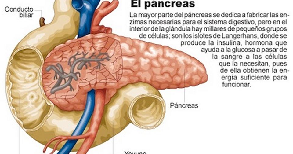 Mundoblog Misi N Que Cumple El P Ncreas Y Como Cuidarlo