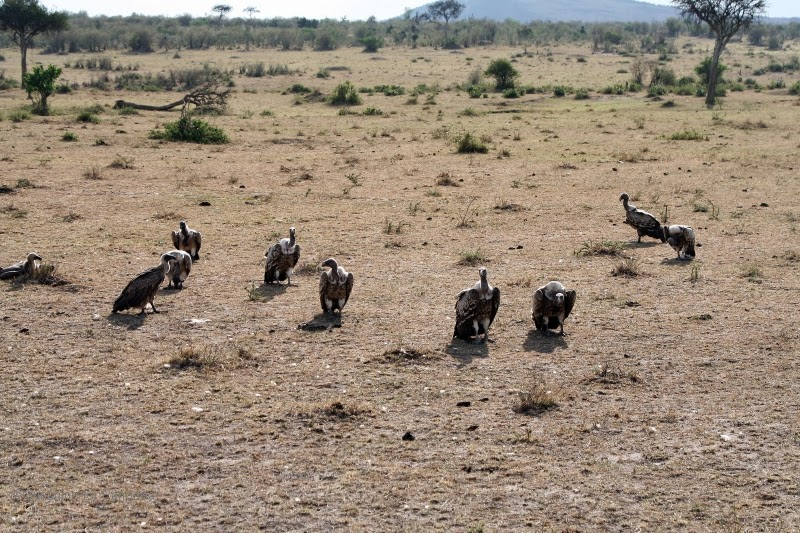 A group of Rüppell's vulture in the Masai Mara