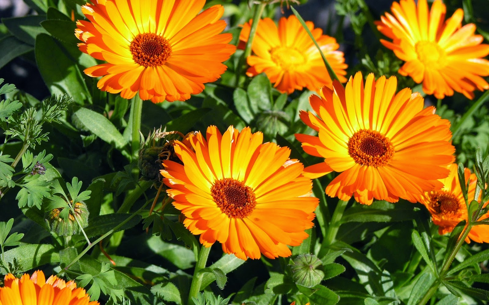 Calendula - the benefits and harm, application and popular recipes 13
