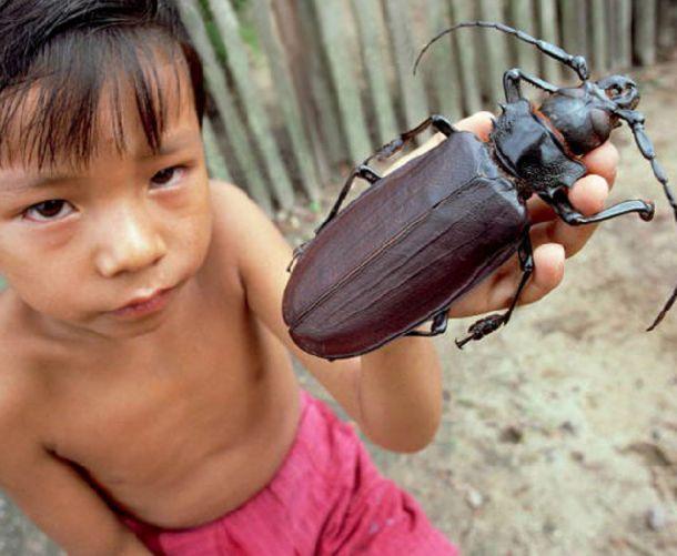 Giant Atlas Beetle Photography Moments: S...