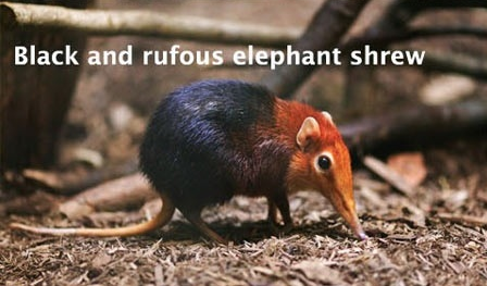 Black and rufous elephant shrew