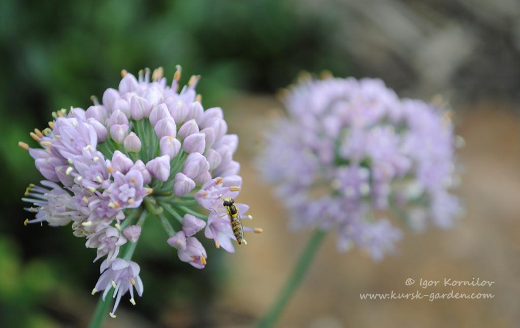 Лук спиральный (Allium spirale)